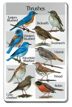 Увеличить - Пение птиц семейства Дроздов Юга Thrushes.